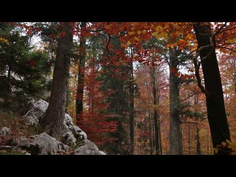 Leaves Falling in Colorful Autumn Forest with Light Rain and Wind in Treetops  1 Hour Rain Sound