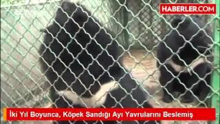 İki Yıl Boyunca, Köpek Sandığı Ayı Yavrularını Beslemiş
