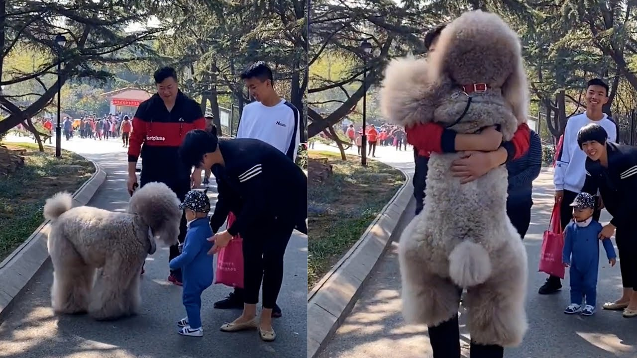 Humongous Fluffy Dog Always Wants To Be Carried By Dad