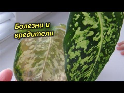 Спасаем Диффенбахию. Вредители и болезни на растении, как с ними бороться?