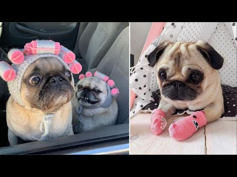Funniest and Cutest Pug Dog Videos Compilation 2020 #2