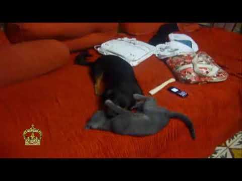 Small dog vs grey cat