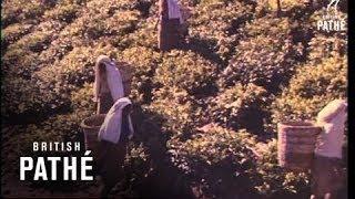 Tea Growing In Ceylon  (1960-1969)