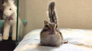 【Bikke】Chipmunk squeaks when she is scared./シマリスビッケの怖いもの