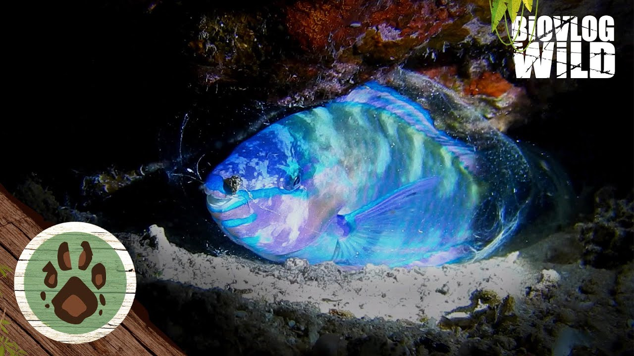 Do fish sleep? YES THEY DO! PARROTFISH sleeping in mucus COCOON