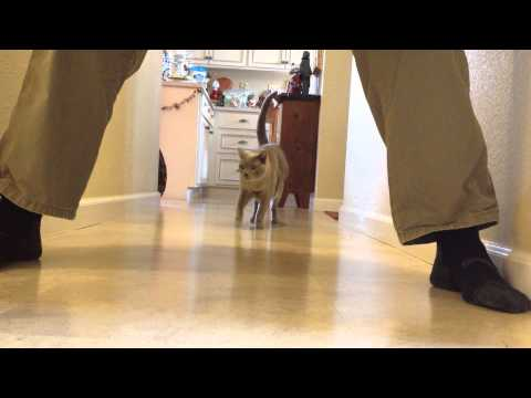 Tonkinese Dust Buster
