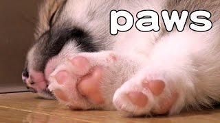 Cute Corgi Puppies Paws & Sleep / コーギー子犬の肉球 お昼寝 20150523 Part 5 Welsh Corgi Pembroke