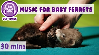 Music to Calm Baby Ferrets, Soothing Music for Baby Ferrets, How to Look After Ferrets, Young Ferret