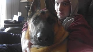 German Shepherd Is A Huge Ham. Did They Spoil Him Too Much? :p (gsd)