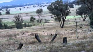 The best Gun for Hunting Australian Wild Pigs Part 3 - The Hunt