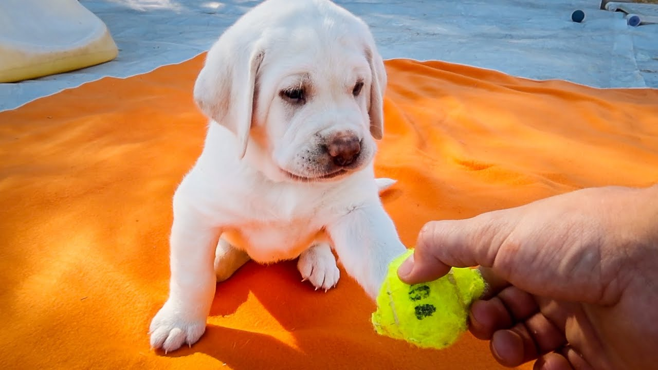 Labrador Puppy Discovers First Toys...