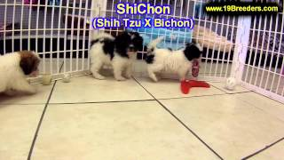 ShiChon, Puppies, For, Sale, In, Olathe, Kansas, County, KS, Fairfield, Litchfield, Middlesex, Tolla