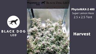 2.5 x 2.5 | Super Lemon Haze | PhytoMAX-2 400 Harvest