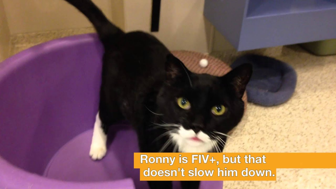 ASPCA Adoptable Cat Ronny