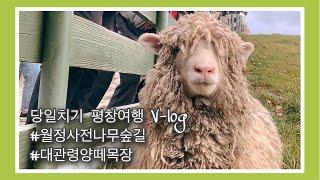 [강원도 평창군] #월정사전나무숲길 #대관령양떼목장 다…