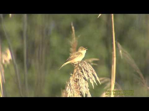 KÄRRSÅNGARE  Marsh Warbler  (Acrocephalus palustris)   Klipp - 702