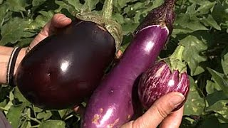 Growing Summer Eggplant