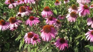 Echinacea extract and Echinacea herb from manufacturer xi'an hua rui