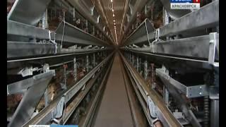 В яйцах канской птицефабрики обнаружили метронидазол