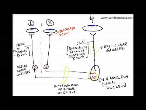 USMLE Tutorial - The Corneal Reflex - YouTube
