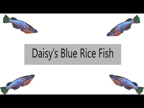 Daisy's Blue Rice Fish (What You Need To Know) Oryzias Wowrae