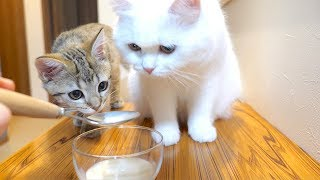 ENG) A kitten drinking milk for the first time and a fluffy cat drinking milk after a long time!