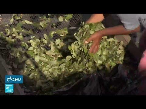 البيرو.. مزارعو الكوكا بين الفقر والخوف من عصابات تهريب المخدرات
