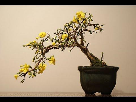flowering winter jasmine bonsai tree youtube. Black Bedroom Furniture Sets. Home Design Ideas