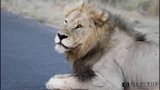 WORLD LION DAY CELEBRATION 2019   Big On Wild - Wildlife Videos