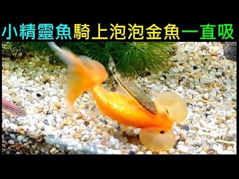 小精靈魚【騎上泡泡金魚一直吸】 - YouTube