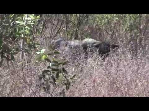 Dav's 416 Ruger, Australian Water Buffalo