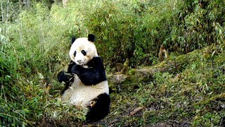 Cameras capture wild giant pandas in NW China's nature reserve