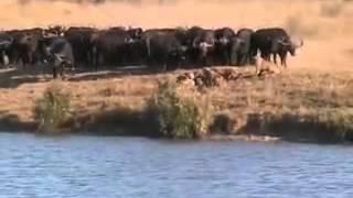 Bawoły vs Lwy i krokodyle, natura w akcji