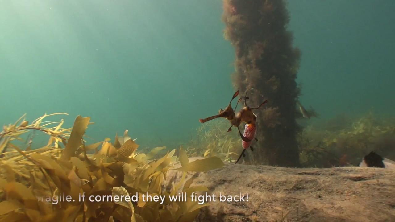 Weedy Sea Dragons fighting  back.
