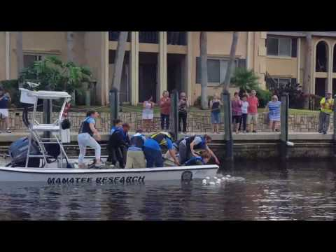 How to catch a manatee! Florida Fish and Wildlife service rescuing a manatee in Jacksonville Florida