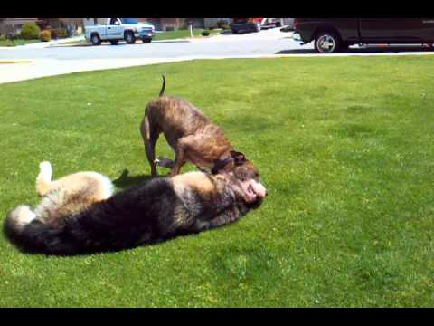 American pitbull terrier vs german shepherd.play! - YouTube