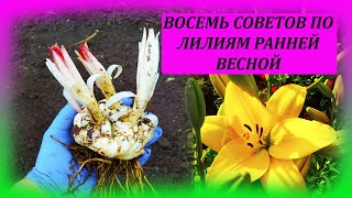 ВОСЕМЬ советов по посадке ЛИЛИЙ ранней весной. Посадка и размножение лилий весной. Лилии.