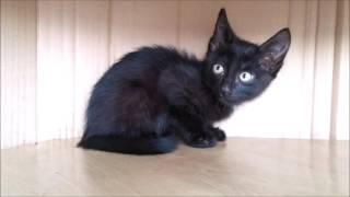 Котенок окрас черный котик Красноярск