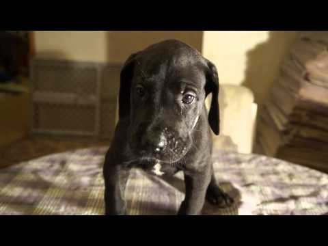 #1 Great dane puppy for sale 5 weeks old very large!