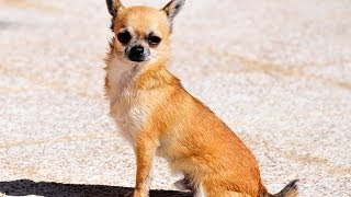 Swimming Dog, How To Train Your Dog To Swim - Cute Chihuahua