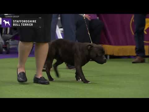 Staffordshire Bull Terrier | Breed Judging 2020
