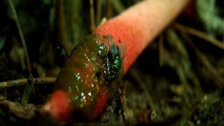 Мутинус собачий - гриб как из фильмов ужасов