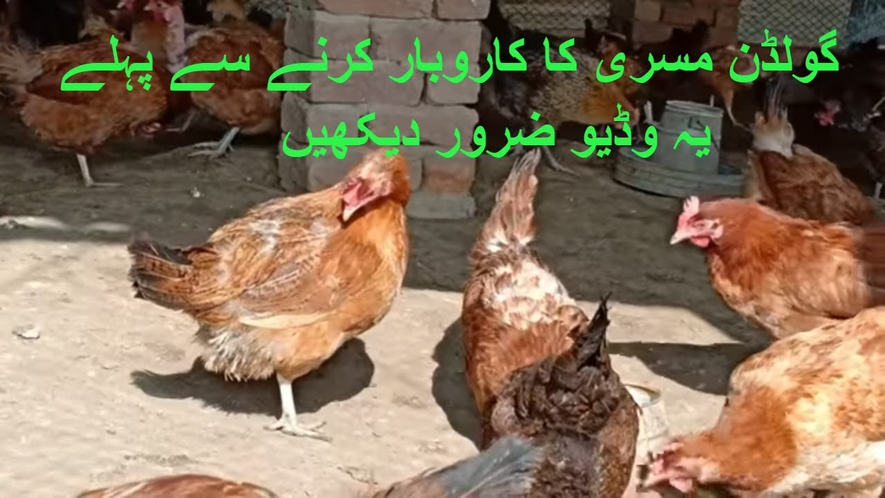 Important tips for desi murgi II Golden Misri hen Farming II Desi eggs  farming in pakistan