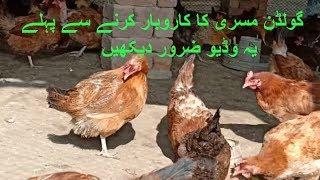 Golden Misri Farm updates /Desi murgi ka farm