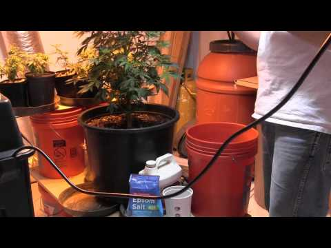 How to treat Leaf Curl on Cannabis & Calibrate pH Meters!