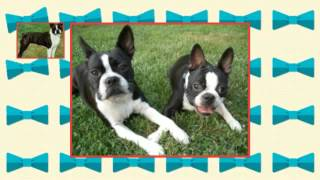 How To Train A Boston Terrier Puppy