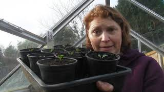 Pricking out Brussels Sprouts - Claire's Allotment - Part 457
