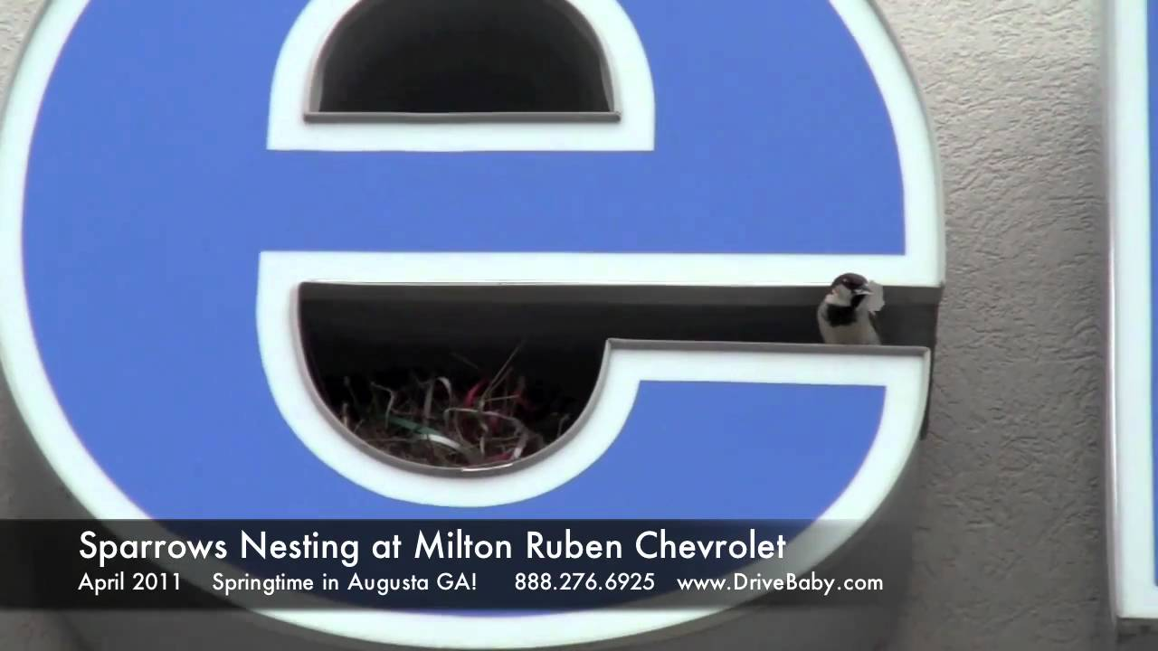 Sparrows Nesting At Car Dealership In Augusta Ga Milton Ruben Chevrolet