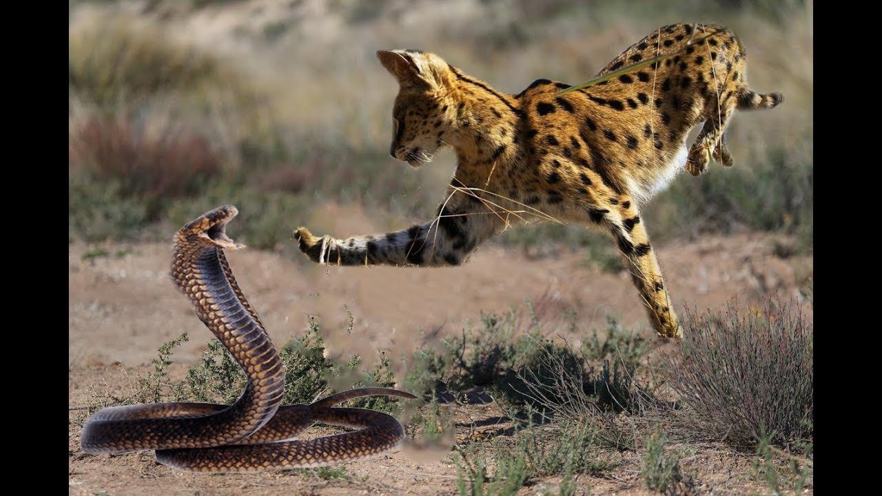 Image result for serval cat you tube