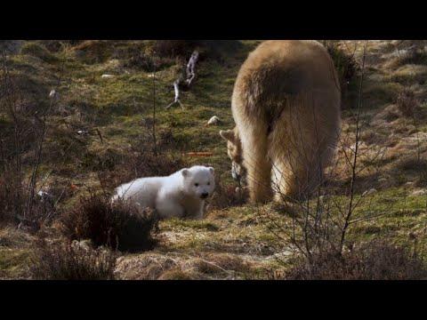 Highland Wildlife Park celebrates polar bear birth